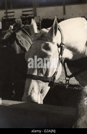 Horse Transport - Two fine horses - Malta  - WWII. Photograph taken by Colonel David Sutherland of SBS and SAS, - Stock Photo