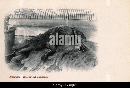 Crocodile at London Zoological Gardens, Regents Park, London. The zoo has the modern branding 'ZSL', the initials - Stock Photo