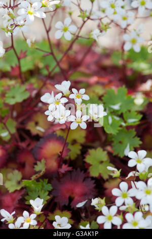Saxifraga maderensis in flower - Stock Photo