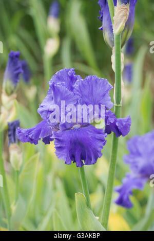 Tall Bearded Iris Blenheim Royal flower - Stock Photo