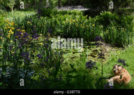 Dog lying on grass next to pond in wetland with Dames Rocket and Yellow Flag Iris - Stock Photo