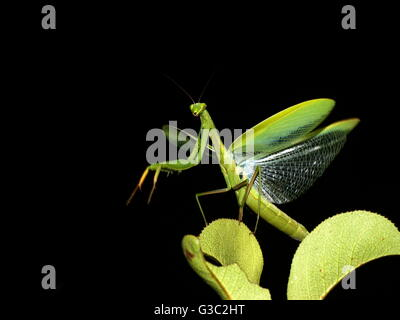 Praying Mantis with wings spread. - Stock Photo