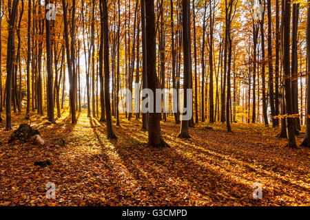 Autumnally coloured trees (mainly beeches) in the Vienna Woods, near Peilstein, Lower Austria, Austria, Europe, - Stock Photo