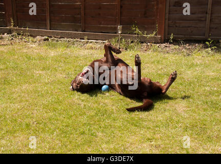 Close up picture of brown,red,chocolate labrador dog playing with ball in garden and rolling on his back - Stock Photo