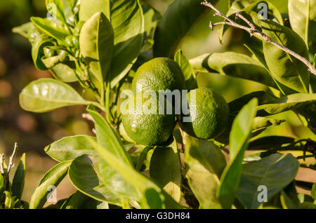 Oranges, fruit, ripening on tree branch, Spain. - Stock Photo