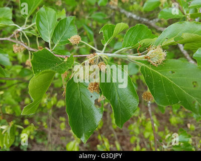 buchensproessling buche rotbuche fagus sylvatica jungpflanze stock photo royalty free. Black Bedroom Furniture Sets. Home Design Ideas