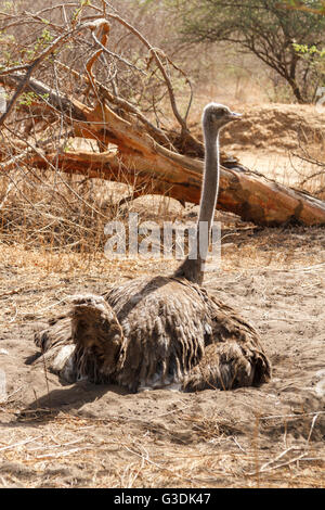 Wild ostrich sitting on her nest of eggs in Senegal in Africa. - Stock Photo