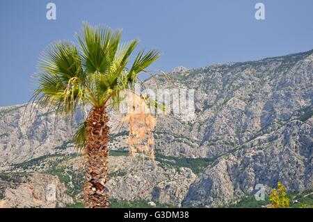 Palm tree with high croatian mountain Biokovo in background. Tucepi, Croatia - Stock Photo