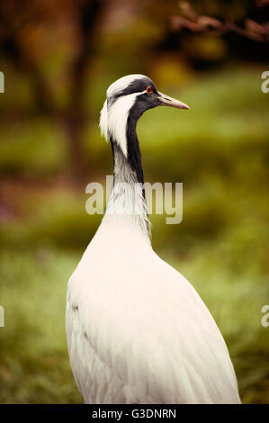 Portrait of Demoiselle Crane( Anthropoides virgo) - Stock Photo