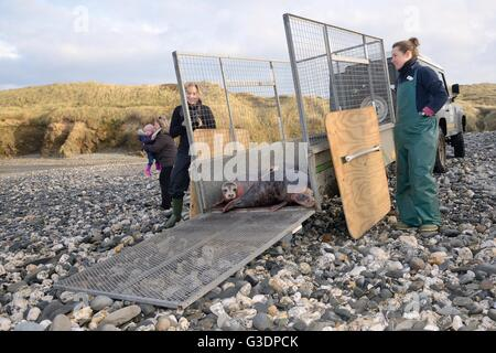 Rescued Grey seal pups (Halichoerus grypus) released from a trailer on a beach after treatment at the Cornish Seal - Stock Photo