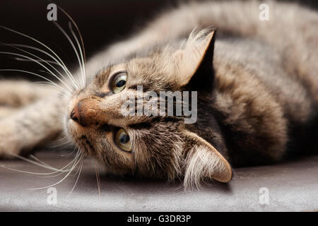 Tabby Cat Lying Down - Stock Photo