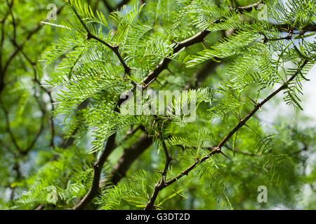 Prosopsis chilensis - Stock Photo