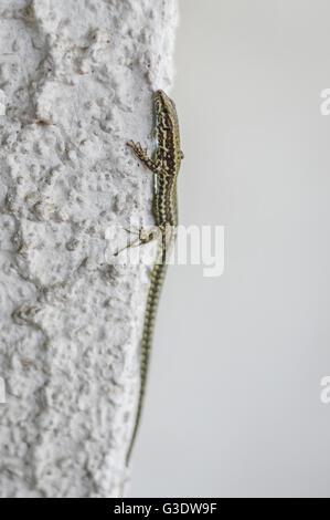 Podarcis muralis (common wall lizard) - Stock Photo