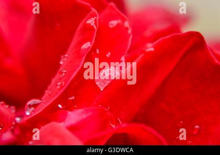 raindrops on silky red rose petals macro