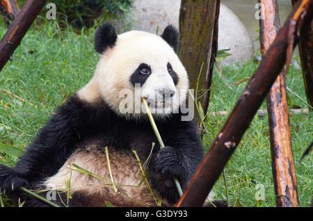 Panda bear at Chengdu Research Base of Giant Panda Breeding - Stock Photo