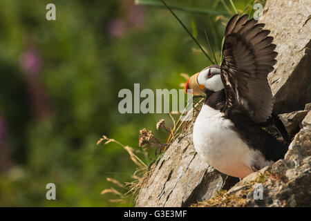 A horned puffin spreads its wings on Chisik Island in the Tuxedni Wilderness Area. - Stock Photo
