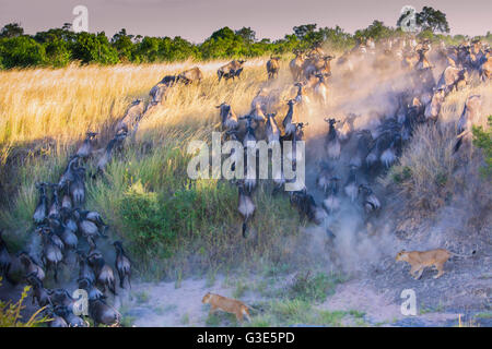 Wildebeest, Connochaetes taurinus, crossing the Mara River with two Lionesses, Panthera leo, in pursuit - Stock Photo
