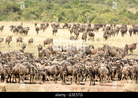 Herd of Wildebeest, Connochaetes taurinus, gathering at the Mara River during the Great Migration Masai Mara, Kenya, - Stock Photo