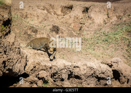 Solitary adult, wild African Leopard, Panthera pardus, stalking, hunting, Masai Mara, Kenya, East Africa - Stock Photo
