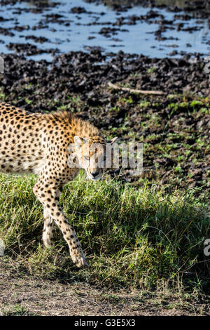 One Adult Wild Cheetah, Acinonyx  jubatus, Walking, Looking for prey, Masai Mara National Reserve, Kenya, East Africa - Stock Photo