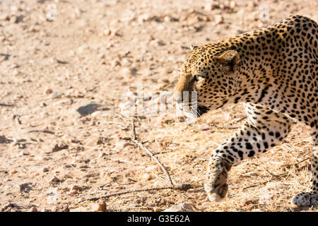 Close-up side view of solitary adult, wild African Leopard, Panthera pardus, profile, stalking, hunting, Samburu, - Stock Photo