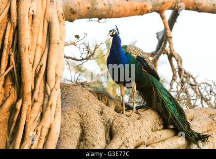 Peacock sitting in Banyan Tree, Ranthambore National Park, India - Stock Photo