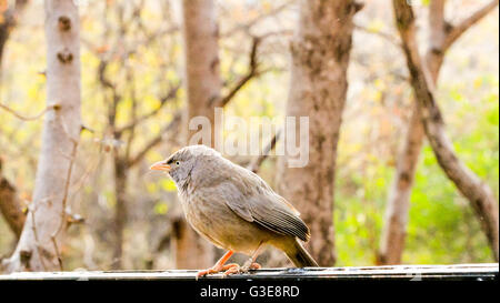 RufousTreepie bird sitting on a tree in Ranthambore National Park, India - Stock Photo