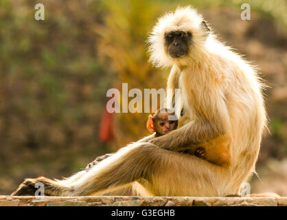 Mother and baby Langur Monkey, Ranthambore National Park, India - Stock Photo
