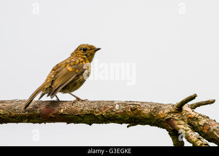 Juvenile robin perched on a branch isolated against a cloudy sky, Yorkshire, UK - Stock Photo