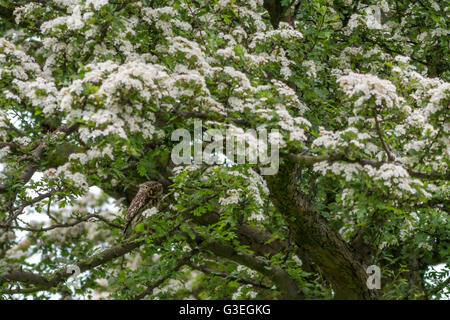 Little owl well camouflaged in a flowering hawthorn tree - Stock Photo
