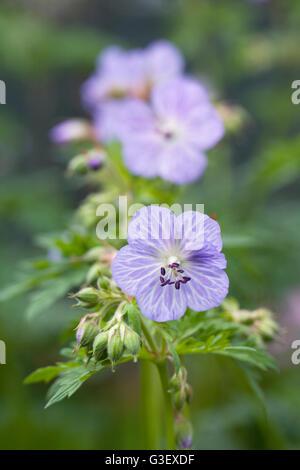 Pale blue Geranium flowers. - Stock Photo
