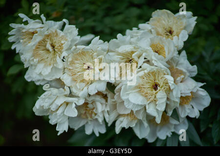 Bunch of lush fancy white peonies close up peony