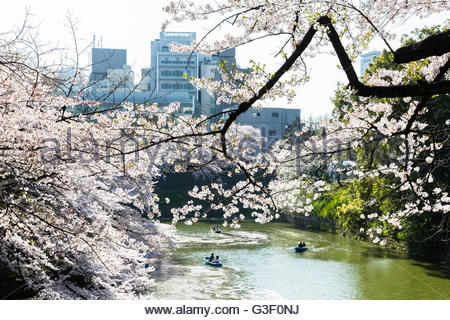 Rowing boats and blossoming cherry trees in front of high rises, channel of the Kitanomaru park in the imperial - Stock Photo