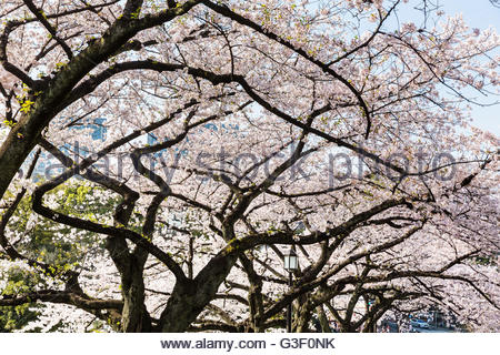 Cherry Blossom In The Imperial Palace East Garden, Tokyo, Japan Stock Photo, ...