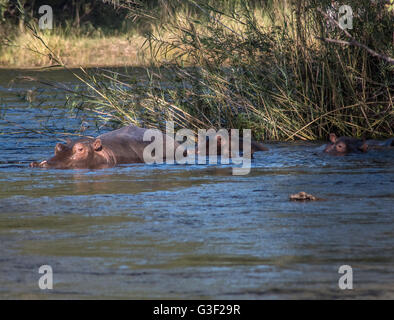 Hippo's in the River Zambezi in Zimbabwe - Stock Photo