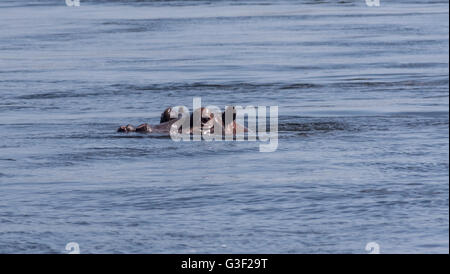 A Hippo in the River Zambezi in Zimbabwe - Stock Photo