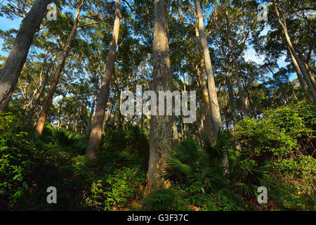 Eucalyptus Trees in Bush, Benandarah, Murramarang National Park, New South Wales, Australia - Stock Photo