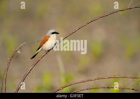 Red-backed Shrike, Lanius collurio, Male, in Spring, Tadten, Hans Burgenland, Austria - Stock Photo