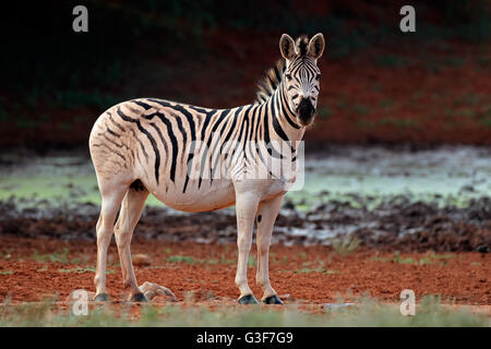 A plains (Burchells) Zebra (Equus burchelli) in natural habitat, South Africa - Stock Photo