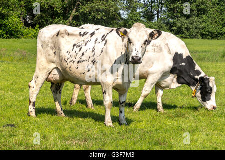 A typically Dutch scene: Flat countryside and Fresian cows on a sunny day in summer, Zegveld, Utrecht Province, - Stock Photo