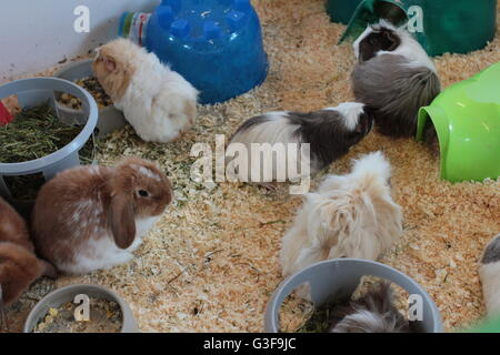 Long Haired Guinea Pig and lop eared rabbit - Stock Photo