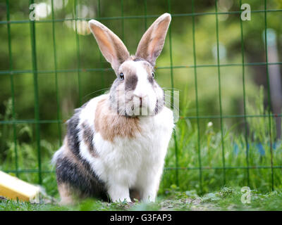 Brown, white and black colored bunny. Mix of Flemish giant and dwarf lop. Outside photography. Beautiful lighting - Stock Photo