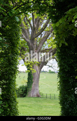 Quercus. Looking through a beech hedge ate an Oak Tree in spring. Oxfordshire, England - Stock Photo
