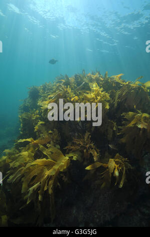 Shallow water kelp forest in sun rays - Stock Photo