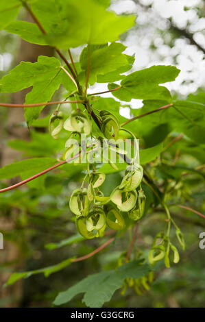 New sycamore acer tree seeds fruit developing in grape like clumps on branches ready for wind dispersal at end of season