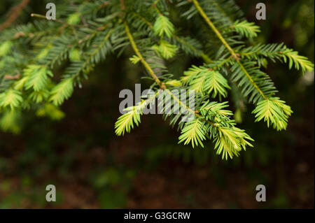 Common yew tree showing growth of new leaves contrasting with old last years growth on branch tip bright verses - Stock Photo
