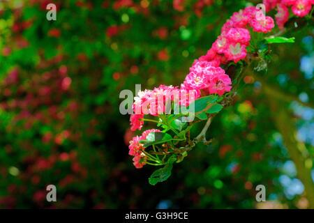 HAWTHORN TREE IN FLOWER - Stock Photo
