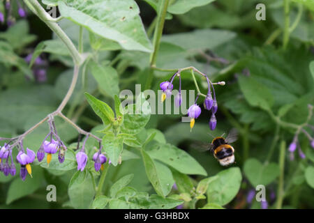 Bumble bee in flight towards the purple flower of the bittersweet nightshade - Stock Photo