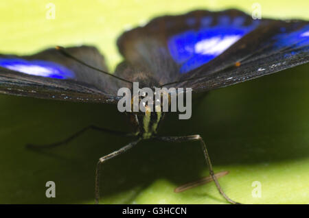 Hypolimnas bolina butterfly sitting on a leaf - Stock Photo