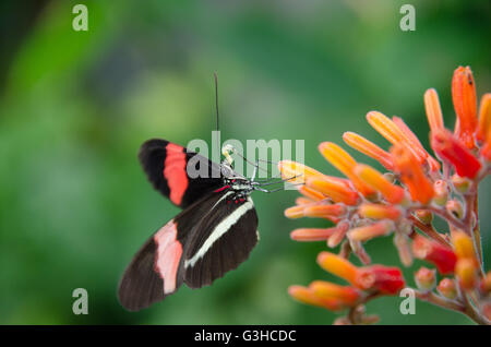 Heliconius erato butterfly sitting on a flower - Stock Photo